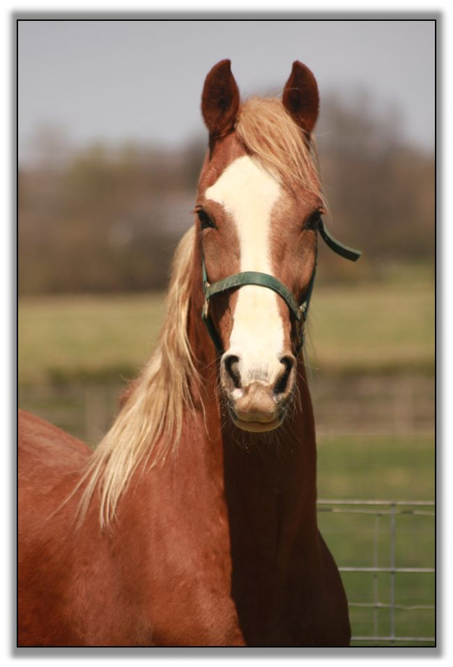 Peavine Creek Saddlebred Horse Farm Horses For Sale