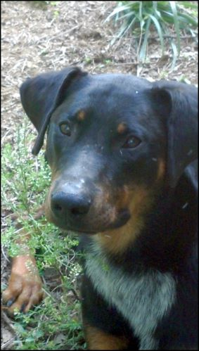 Half Doberman/Half Heeler for adoption