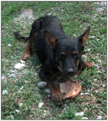 Black Tri-Heeler dogs 4 sale