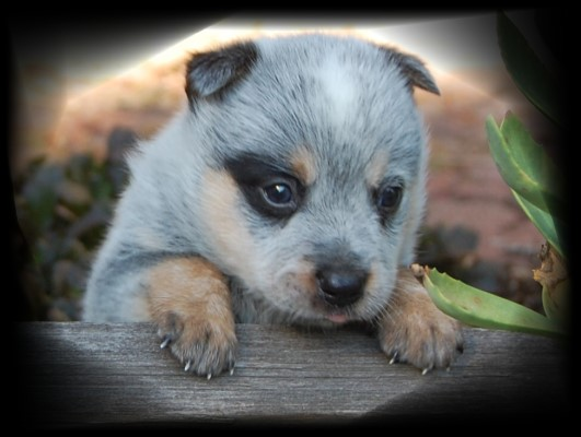 Heeler puppy for sale!