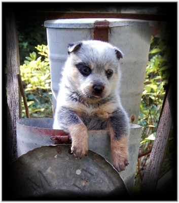 Heeler pup for sale!