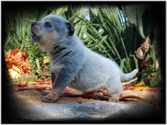 Adorable heeler pup for sale!