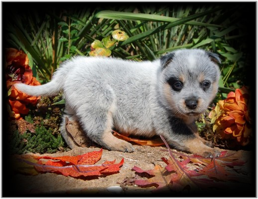 Precious Heeler pup for sale!