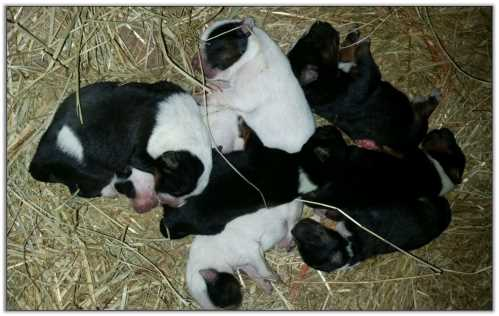 Registered Texas Heeler and American Heeler Pups for sale!
