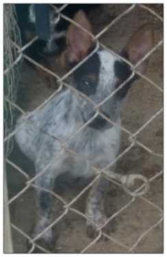 Texas Heeler Male Pup 4 Sale