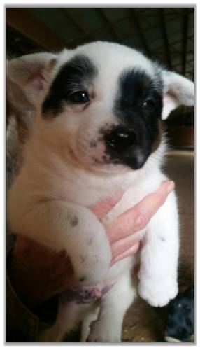 Austrailan Cattle Dog for sale