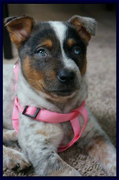 Texas Heeler for sale