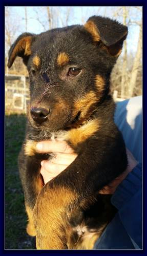 Black Tri Texas Heeler Hybrid Male pup for sale born Nov. 19th, 2015 Registered Heeler/Aussie Hybrid