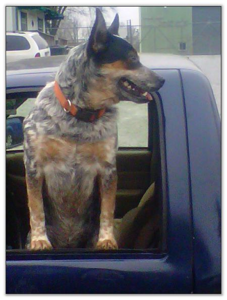 Full Blooded Blue Silverback Mottled Sire of Full Blooded & Texas Heeler litters