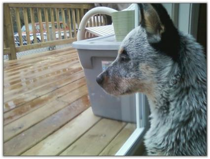 Australian Cattle Dog For Sale