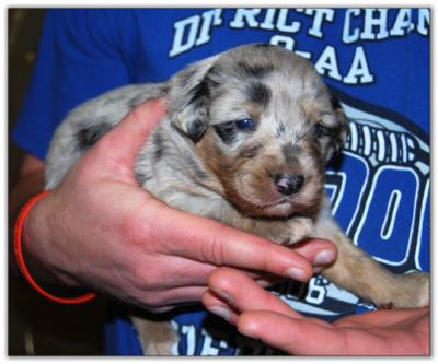 Australian Shepherd Puppies for sale!