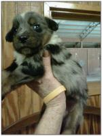 American Heeler Hybrid pups for sale! (Male)