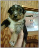 American Heeler Hybrid pups for sale!