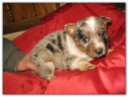 Blue Heeler puppies for sale
