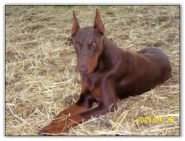 Maternal Grand Sire of puppies