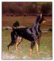 Paternal Grand Sire of puppies