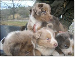 Aussie dogs for sale