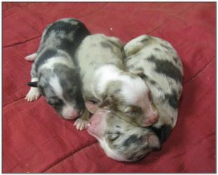 Great American Cattle Dog Pups