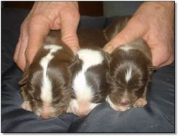Puppies for Sale! Click photo to enlarge image.