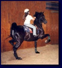Black American Saddlebred w/Maria Rogers,up