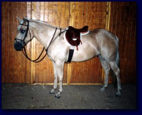 Palomino American Quarter Horse For Sale!
