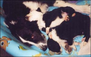 Australian Shepherd/Border Collie Mix Pups for sale!