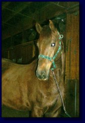 Copper, American Saddlebred Pleasure/Academy or Superior Lesson Horse