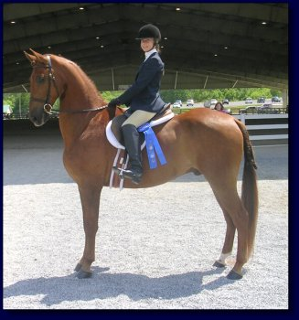 Copper Coin, American Saddlebred Pleasure/Academy or Superior Lesson Horse