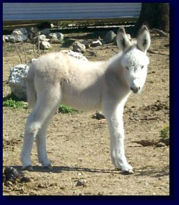 Moon Pie, Miniature/Standard Donkey Cross Jennet