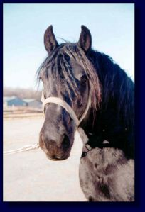 Draft/Percheron Mare