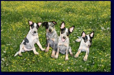 pictured below and also known as blue heelers queensland heelers