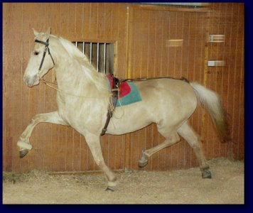 American Saddlebred Palomino Mare For Sale